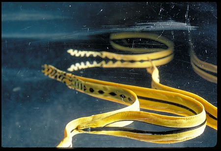 Sea Snakes, Panama, STRI, 1986, Smithsonian Institution Archives, SIA Acc. 11-009 [89-5407].