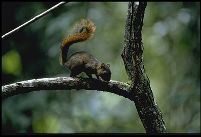 Squirrel at Barro Colorado Island (BCI), Panama, STRI