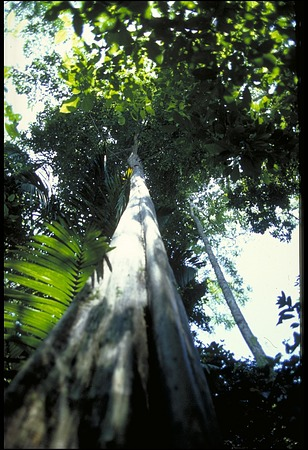 Tree, Panama, STRI, 1988, Smithsonian Institution Archives, SIA Acc. 11-009 [90-14993].