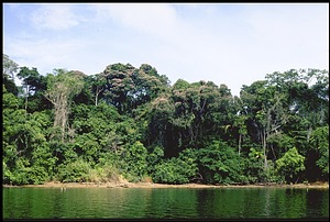 Dipterix Trees, Panama, STRI, 1988, Smithsonian Institution Archives, SIA Acc. 11-009 [90-15000].