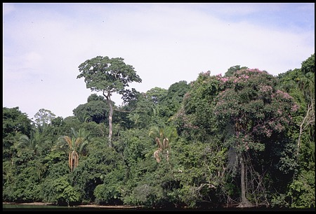 Dipterix Trees, Panama, STRI, 1988, Smithsonian Institution Archives, SIA Acc. 11-009 [90-15001].