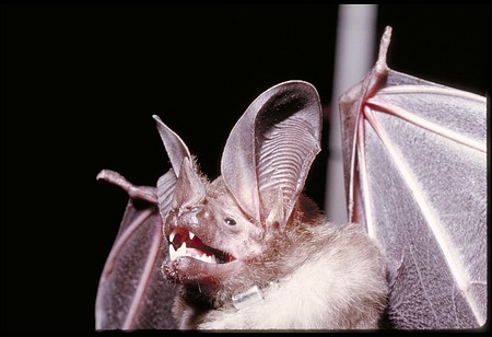Bat Study, Panama, STRI, 1989, Smithsonian Institution Archives, SIA Acc. 11-009 [91-10763].