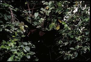 Monkey, Panama, STRI, 1989, Smithsonian Institution Archives, SIA Acc. 11-009 [91-10813].