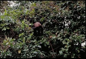 Monkey, Panama, STRI, 1989, Smithsonian Institution Archives, SIA Acc. 11-009 [91-10814].