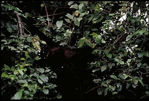 Monkey, Panama, STRI, 1989, Smithsonian Institution Archives, SIA Acc. 11-009 [91-10815].