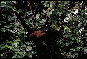 Monkey, Panama, STRI, 1989, Smithsonian Institution Archives, SIA Acc. 11-009 [91-10816].