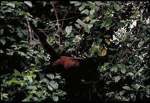 Monkey, Panama, STRI, 1989, Smithsonian Institution Archives, SIA Acc. 11-009 [91-10817].