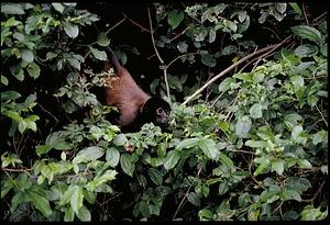 Monkey, Panama, STRI, 1989, Smithsonian Institution Archives, SIA Acc. 11-009 [91-10818].