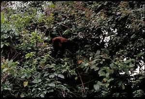 Monkey, Panama, STRI, 1989, Smithsonian Institution Archives, SIA Acc. 11-009 [91-10819].