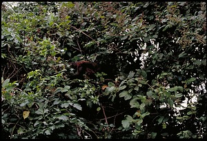 Monkey, Panama, STRI, 1989, Smithsonian Institution Archives, SIA Acc. 11-009 [91-10820].