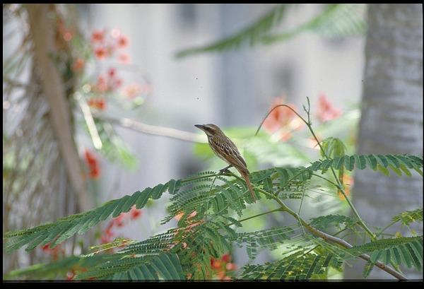 Bird, Panama, STRI, 1989, Smithsonian Institution Archives, SIA Acc. 11-009 [91-14849].