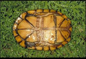Turtle, Panama, STRI, 1989, Smithsonian Institution Archives, SIA Acc. 11-009 [91-17467].