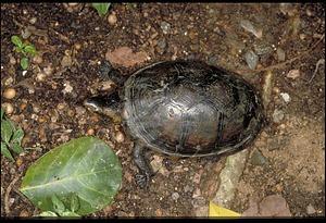 Turtle, Panama, STRI, 1989, Smithsonian Institution Archives, SIA Acc. 11-009 [91-17472].