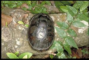 Turtle, Panama, STRI, 1989, Smithsonian Institution Archives, SIA Acc. 11-009 [91-17473].