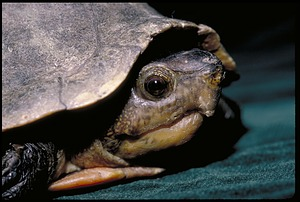Turtle, Panama, STRI, 1989, Smithsonian Institution Archives, SIA Acc. 11-009 [91-17574].