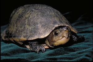 Turtle, Panama, STRI, 1989, Smithsonian Institution Archives, SIA Acc. 11-009 [91-17575].