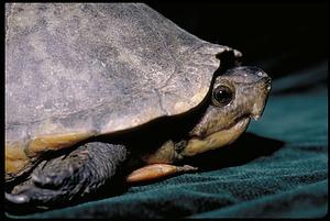 Turtle, Panama, STRI, 1989, Smithsonian Institution Archives, SIA Acc. 11-009 [91-17576].