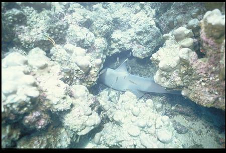 Underwater View of Shark, Panama, STRI
