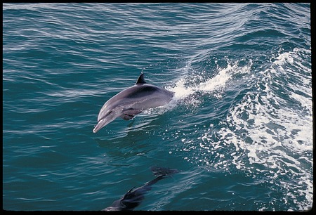 Dolphins, Bay of Panama, STRI, 1989, Smithsonian Institution Archives, SIA Acc. 11-009 [91-17650].