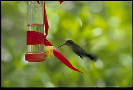 Hummingbird, Panama, STRI, 1990, Smithsonian Institution Archives, SIA Acc. 11-009 [91-19305].