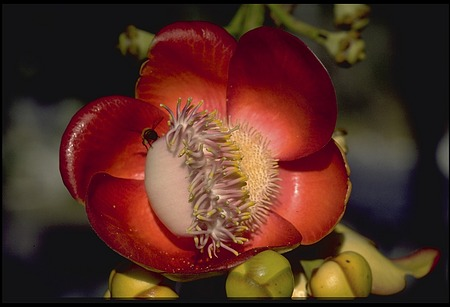 Flower and Bee, Panama, STRI, 1990, Smithsonian Institution Archives, SIA Acc. 11-009 [91-19326].