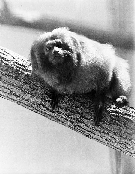 Golden Lion Marmoset, NZP, by Berg, Ilene, 1978, Smithsonian Archives - History Div, 92-1716.