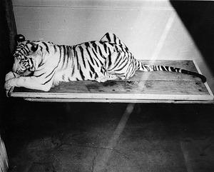Mohini Rewa, NZP's White Tiger