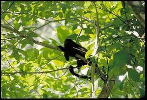 Monkey in Tree, Panama, STRI, 1990, Smithsonian Institution Archives, SIA Acc. 11-009 [92-512].