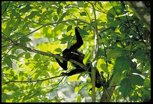 Monkey in Tree, Panama, STRI, 1990, Smithsonian Institution Archives, SIA Acc. 11-009 [92-513].