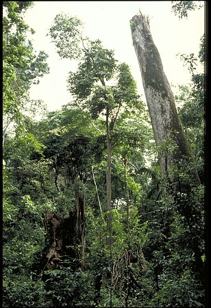 Tree Study with Ecologist Stephen P. Hubbell, Panama, STRI