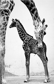 Baby Giraffe Ryma and Mother Peggy at NZP