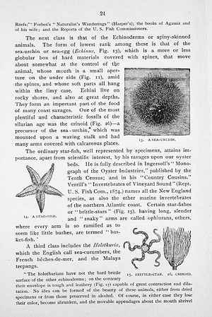 Engravings of a Sea Urchin, Star-fish, Brittle-star, and Crinoid