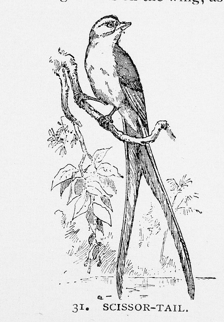 Engraving of a Scissor-tail Bird, by Unknown, 1886, Smithsonian Archives - History Div, 95-20353.