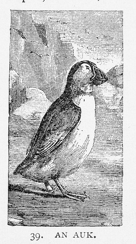 Engraving of an Auk, by Unknown, 1886, Smithsonian Archives - History Div, 95-20358.
