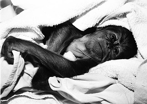 NZP's Baby Orangutan, by Cohen, Jessie, 1980, Smithsonian Archives - History Div, 96-1012.