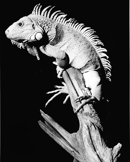 Common Iguana, NZP, by Cohen, Jessie, 1981, Smithsonian Archives - History Div, 96-1013.