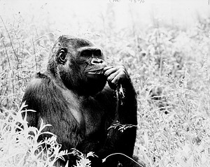 Mesou, Gorilla at the NZP, by Cohen, Jessie, 1988, Smithsonian Archives - History Div, 96-1015.