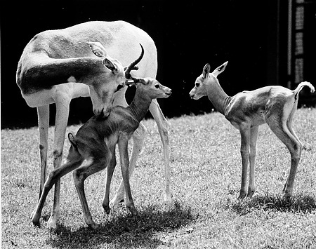 Baby Gazelles with Mother at NZP