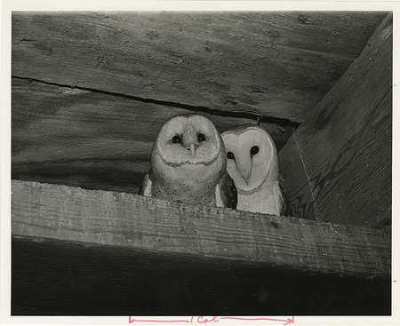 "Owls ""Increase"" and ""Diffusion"" in the Castle Tower"