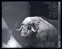 Model of Musk Ox, 1880, Smithsonian Institution Archives, SIA Acc. 11-007 [MNH-1254].