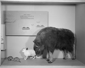 Arctic Mammals, Hall of Mammals, National Museum of Natural History