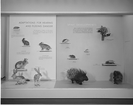 Adaptations for Hearing and Fleeing Danger & Spiny Developments Exhibits
