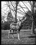 Study Specimen for Taxidermy Moose Group