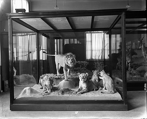 East African Lion Exhibit, National Museum of Natural History