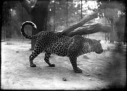 Leopard, 1900, Smithsonian Institution Archives, SIA Acc. 14-167 [NZP-0113].