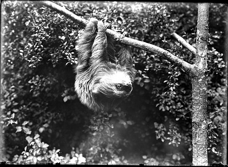 Two-Toed Sloth, 1900, Smithsonian Institution Archives, SIA Acc. 14-167 [NZP-0127].