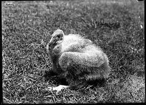 California Condor, 1902, Smithsonian Institution Archives, SIA Acc. 14-167 [NZP-0144].