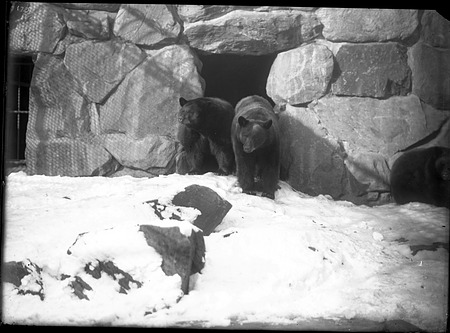 American Black Bears, 1900, Smithsonian Institution Archives, SIA Acc. 14-167 [NZP-0175].