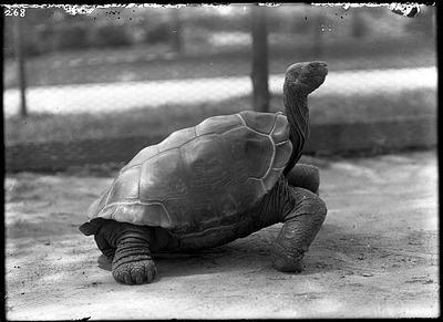 Galapagos Tortoise, 1900, Smithsonian Institution Archives, SIA Acc. 14-167 [NZP-0268].