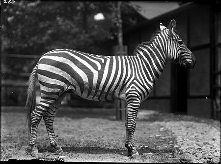 Grant's Zebra, 1910, Smithsonian Institution Archives, SIA Acc. 14-167 [NZP-0283].
